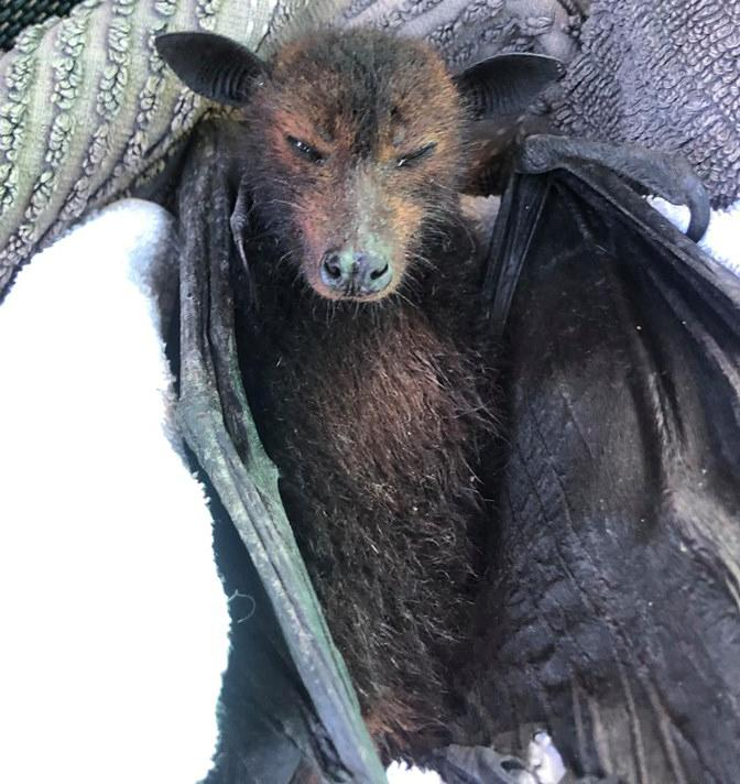 Rescue workers say they have been inundated with calls about dying bats in recent weeks. Source: Facebook/Bats QLD
