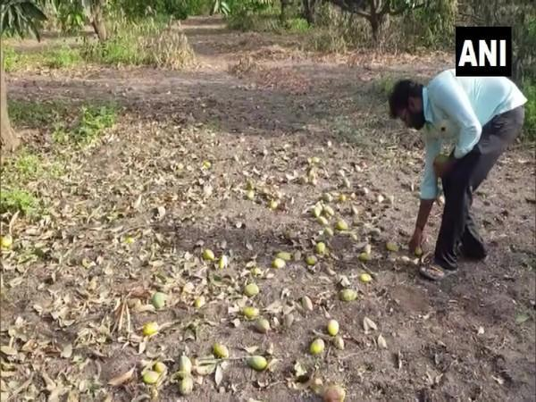 The ravaged mangoes in one of the fields in Gujarat's Amreli. (Photo/ANI)