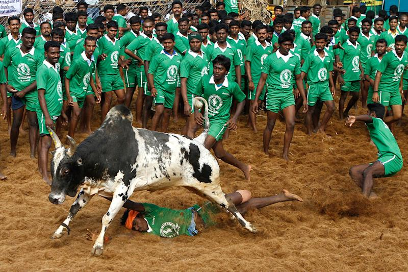 Bull Taming Festival in India - In Pictures
