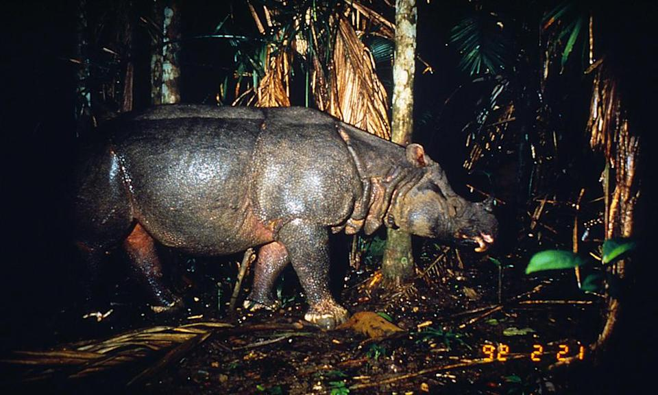 <p>Only 60 Javan rhinos are still alive in the wild after years of poaching. (Photo: WWF) </p>