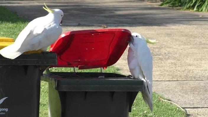 """Within groups, only around ten percent of cockatoos could open a lid, with the rest profiting from the efforts of the """"pioneer"""""""