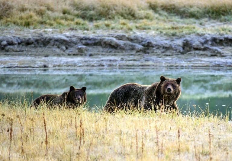 In this file photo taken on October 8, 2012 a grizzly bear mother and her cub walk near Pelican Creek in the Yellowstone National Park, Wyoming (AFP Photo/KAREN BLEIER)
