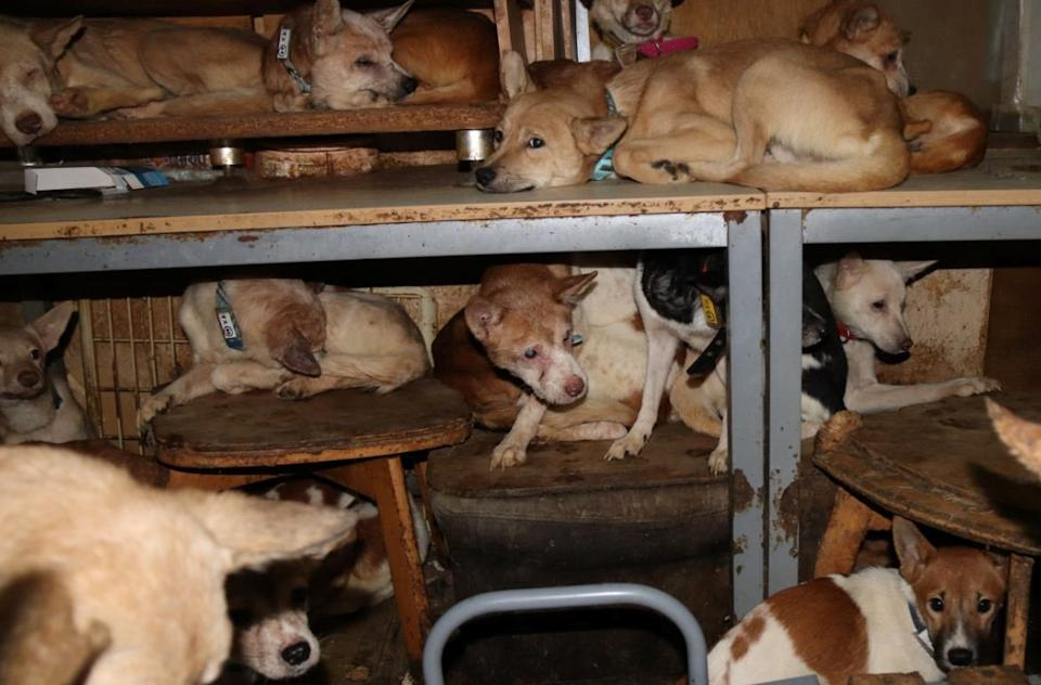 Dozens of dogs, the animal rights group say mostly malnourished and infected by parasites, are crammed inside a tiny house in Izumo, western Japan.