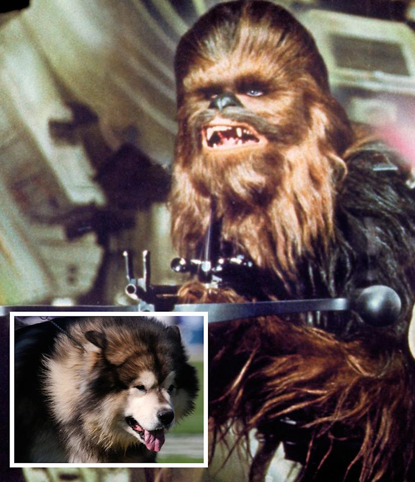 "<b>Laugh it up Fuzz-ball</b><br>Han Solo's sidekick, the Wookiee Chewbacca, was actually inspired by writer/director <a href=""http://movies.yahoo.com/person/george-lucas/"">George Lucas</a>'s own sidekick, an Alaskan malamute named Indiana. Indiana often sat shotgun in Lucas's car, and while he didn't help the director launch into light speed, he did serve as a trusty co-pilot. Indiana also served as the inspiration behind the name of another famous Lucas character: Indiana Jones."
