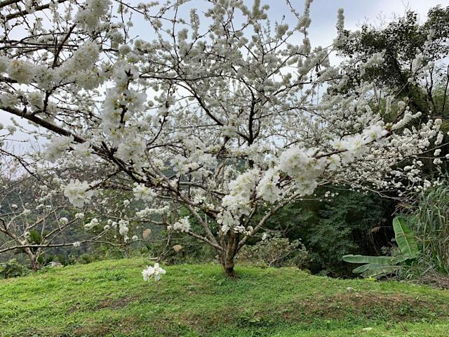 <p>▲綻放美麗純白的黃柑李花。|Plum trees are in full blossom (NOWnews)</p>