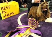 """<p>We love that Stump, a Sussex spaniel, is doubling the trophy as a place to just chill. Much respect to <a href=""""https://www.nytimes.com/2009/02/11/sports/othersports/11dogs.html"""" rel=""""nofollow noopener"""" target=""""_blank"""" data-ylk=""""slk:the oldest pup to ever win"""" class=""""link rapid-noclick-resp"""">the oldest pup to ever win</a>.</p>"""