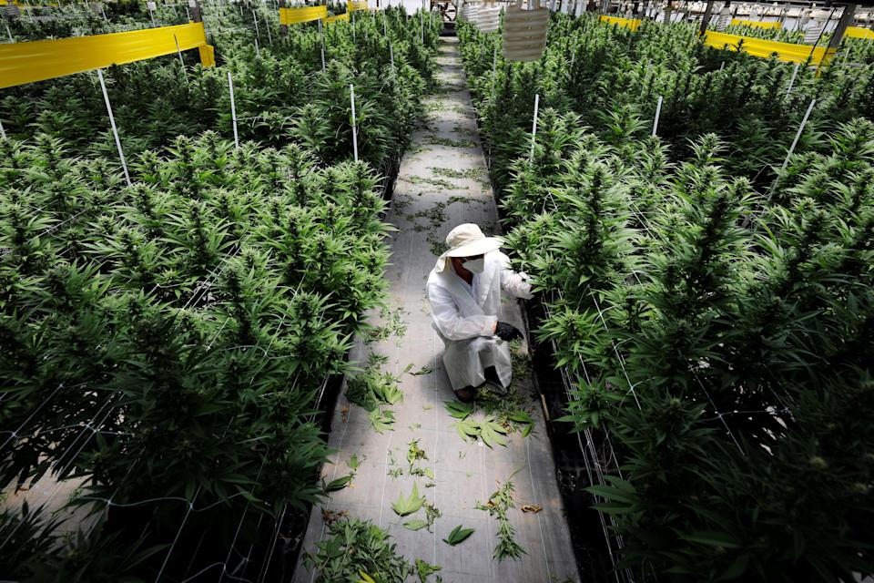 <p>CBD stands for cannabidiol - the non-psychoative compound in cannabis plants - and it can be extracted from plants or created synthetically in a lab</p> (REUTERS)