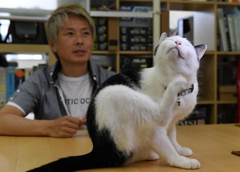 A total of nine fluffy felines eat, sleep and walk freely in the small office of IT firm Ferray in Tokyo (AFP Photo/YOKO AKIYOSHI)