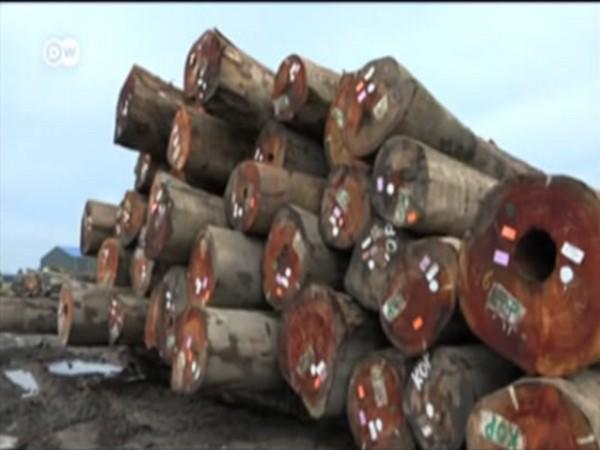 China's illegal timber trade stripping Suriname's forest (Photo Credit - DW News Agency)