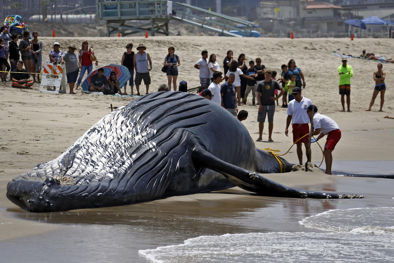 <p>Lifeguards tie a dead humpback whale's tail after it washed ashore at Dockweiler Beach along the Los Angeles coastline on Friday, July 1, 2016. The whale floated in Thursday evening. It is approximately 40 feet long and is believed to have been between 10 to 30 years old. Marine animal authorities will try to determine why the animal died. (AP Photo/Nick Ut) </p>
