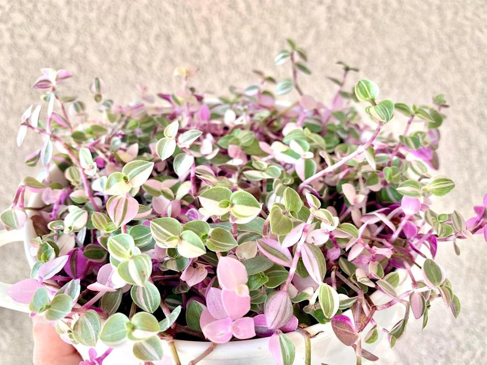 <p>The <span>Callisia Repens Bianca</span> ($20) has bright green and pink leaves that are practically made for spring. </p>