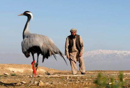 Jan Agha, 49, an Afghan hunter, tries to catch his crane at a field in Bagram, Parwan province, Afghanistan April 10, 2019. Picture taken April 10, 2019. REUTERS/Mohammad Ismail