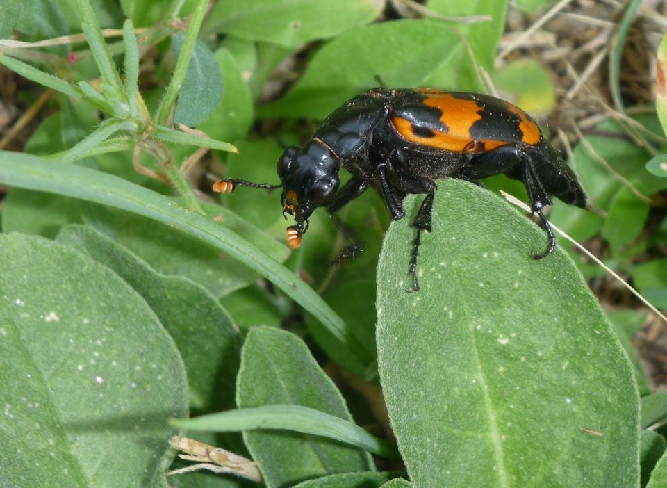 <p><strong>American Burying Beetle </strong></p><p>Good thing Rhode Island is a small state because we wouldn't want to run into many of these creepers.</p>