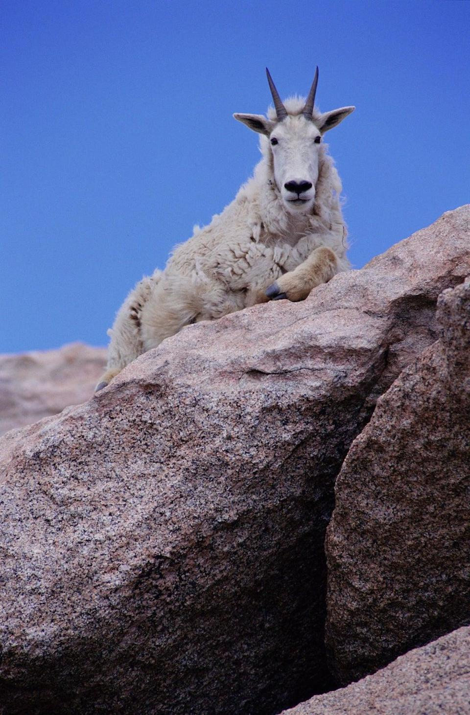 File: Rocky mountain goat lying on a rock in Colorado (Getty Images)