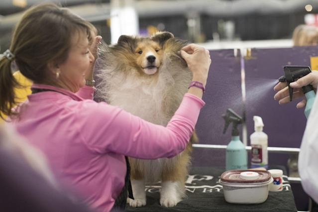 <p>Turner, a Shetland sheepdog, is groomed by Michelle Miller in the staging area during the 141st Westminster Kennel Club Dog Show, Monday, Feb. 13, 2017, in New York. (AP Photo/Mary Altaffer) </p>