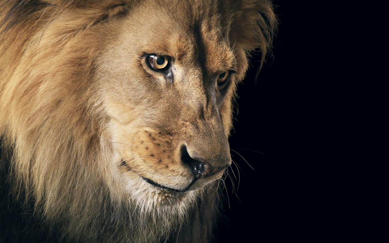 Lion in intense stare showing mane and bright, open eyes.
