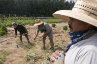 Farmworkers, who declined to give their names, break up earth, Thursday, July 1, 2021, near St. Paul, Ore., as a heat wave bakes the Pacific Northwest in record-high temperatures. (AP Photo/Nathan Howard)
