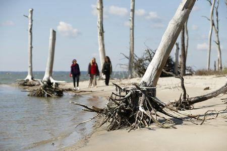 Women walk through a coastal ghost forest believed to be caused by sea level rise on Assateague Island in Virginia, in this October 25, 2013 file photo. REUTERS/Kevin Lamarque