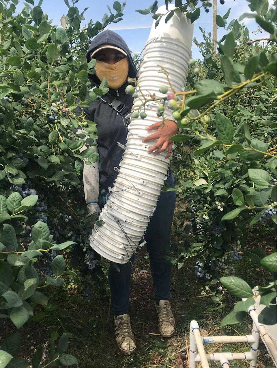 Gianna Nino-Tapias holds a day's worth of buckets to be filled with blueberries. Workers are paid about $3.50 a bucket and can pick four buckets in an hour on a good day. They're usually out there picking for 8 to 10 hours a day, even when it gets up to 110 degrees, and they're cut from the job if they can't manage to make minimum wage.
