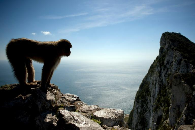 Local folklore has it that Gibraltar would cease to be British if the monkeys were to leave (AFP Photo/JORGE GUERRERO)