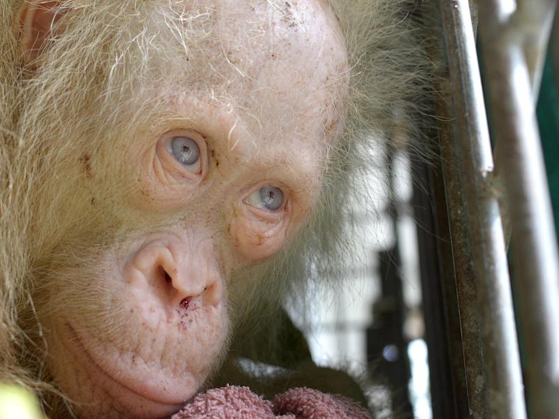 The rare albino orangutan: BOS Foundation