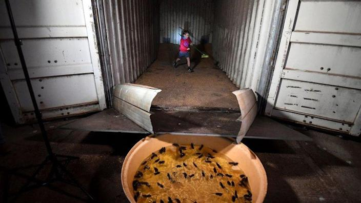 A child chases mice from a wheat hold into a water-filled tub acting as a trap on Col Tink's farmland in the New South Wales' agricultural hub of Dubbo on 1 June 2021