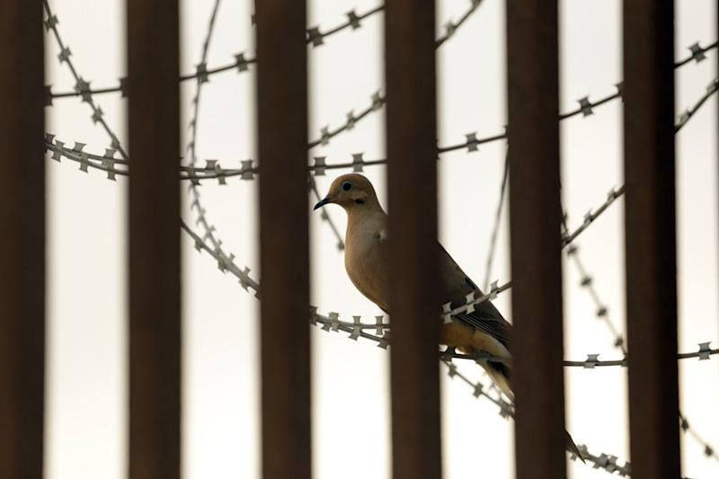 A dove sits on barbed wire along the border wall in Brownsville, Texas.