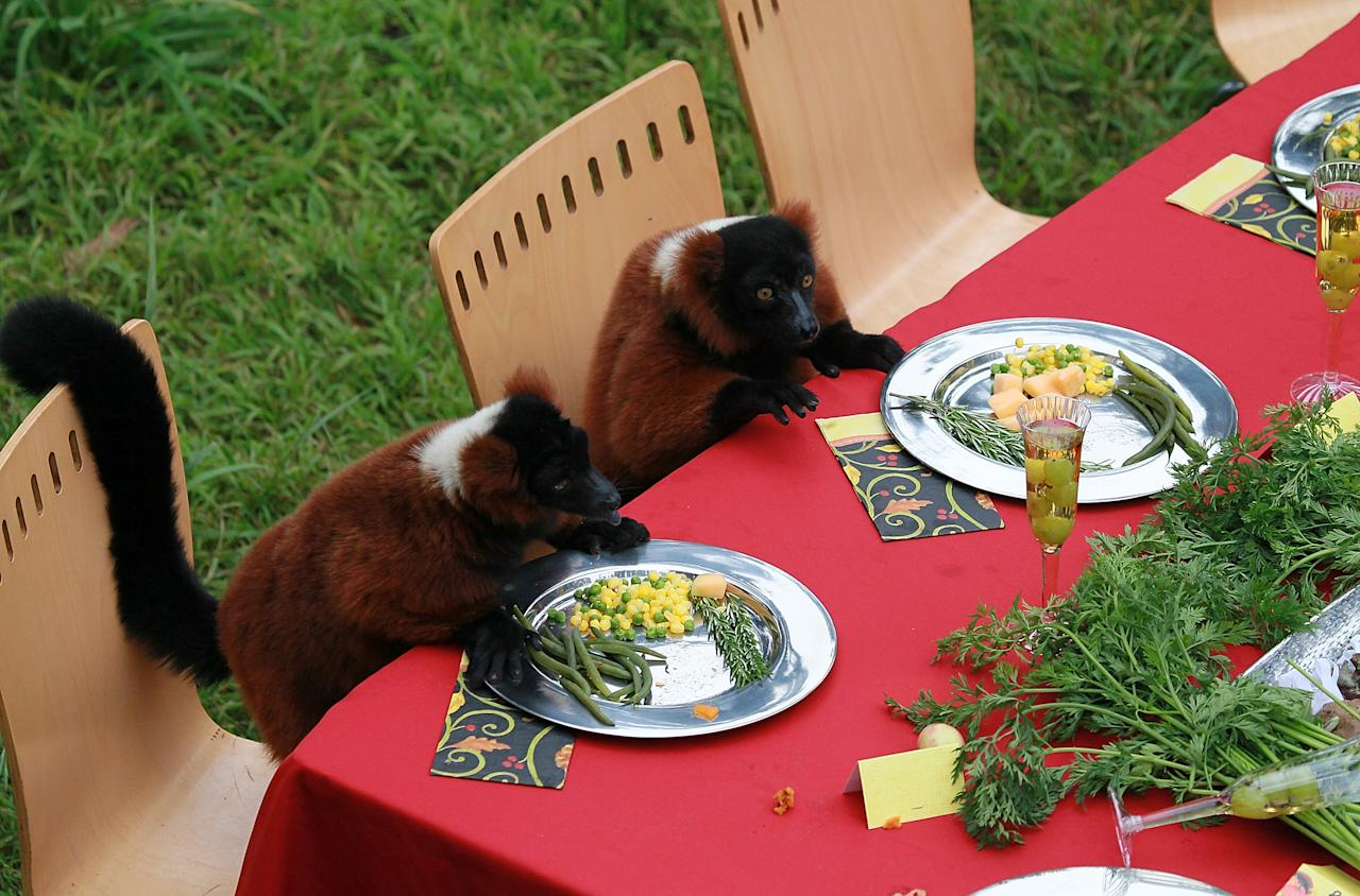 SAN FRANCISCO, CA - NOVEMBER 23:  Two Red Ruff Lemurs sit in chairs as they eat a Thanksgiving meal at the San Francisco Zoo on November 23, 2011 in San Francisco, California. Fifteen lemurs at the San Francisco Zoo were treated to a Thanksgiving feast of green beans, a fruit salad made up of apples, bananas, grapes sweet potatoes and a turkey made out of monkey chow.  (Photo by Justin Sullivan/Getty Images)