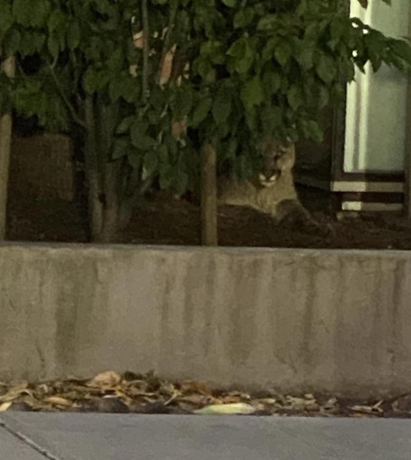 On June 18, the mountain lion was spotted by a police officer in a residential area. Source: San Francisco Police Department/Facebook