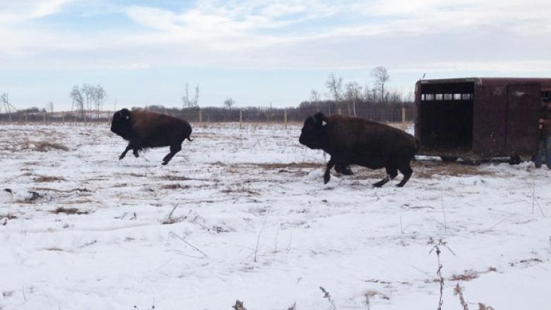 Tears of joy as bison return to a Saskatchewan First Nation