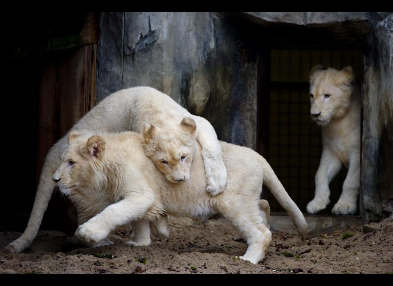Three of four white lions that came outside for the first time after 10 weeks in quarantaine play in their section of the Ouwehands Zoo in Rhenen, the Netherlands, about 90 km southeast of Amsterdam, on February 11, 2011. The lions are descendants of the rare white lions in the Timbavati Game Reserve in South Africa. The male, Credo, is seven months old and the females, Ilanga, Bhandura and Luna, are ten months old. AFP PHOTO/ANP/ROBIN UTRECHT netherlands out - belgium out (Photo credit should read ROBIN UTRECHT/AFP/Getty Images)