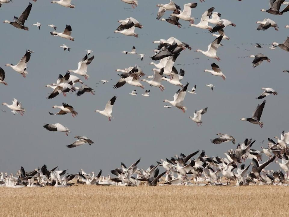 There has been an influx of a snow geese and other species due to migratory patterns changing, according to naturalist Brian Keating. (Brain Keating - image credit)
