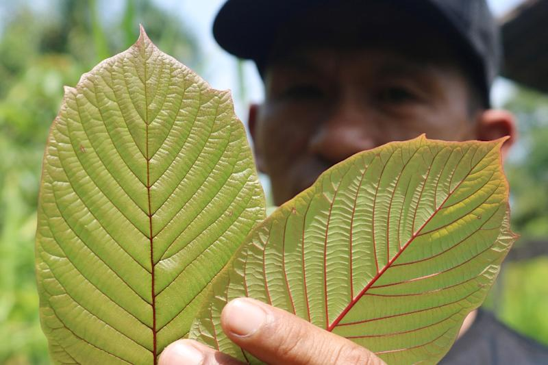 As many as five million Americans use kratom and that number is growing, according to the American Kratom Association (AFP Photo/Louis Anderson)