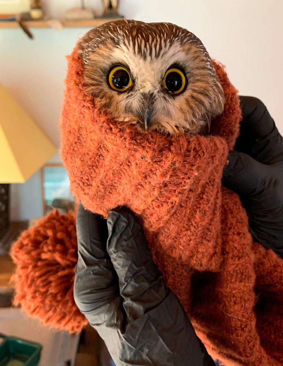 <p>Rockefeller, the owl found hiding in the iconic New York Christmas tree, has been released</p> (AP)