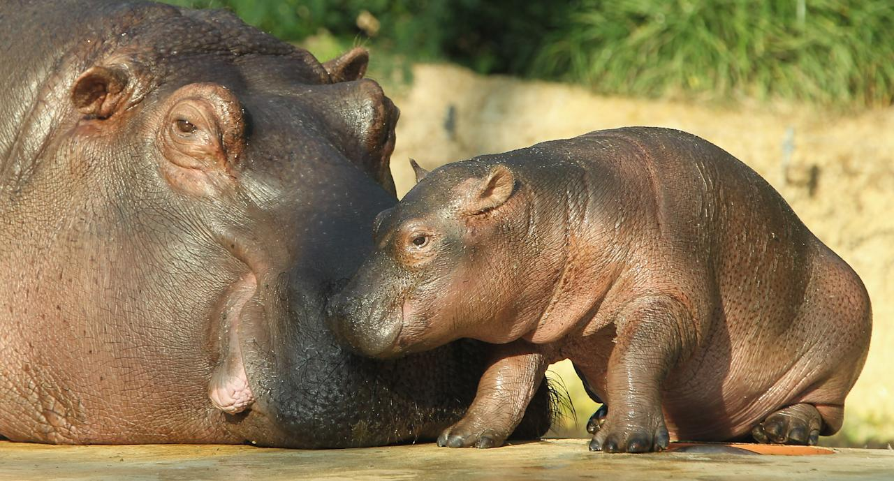 BERLIN, GERMANY - NOVEMBER 01:  A baby hippopotamus lies next to its mother on the first day it was presented to the public at the Zoo Berlin zoo on November 1, 2011 in Berlin, Germany. The baby hippo was born at the zoo on October 23.  (Photo by Sean Gallup/Getty Images)