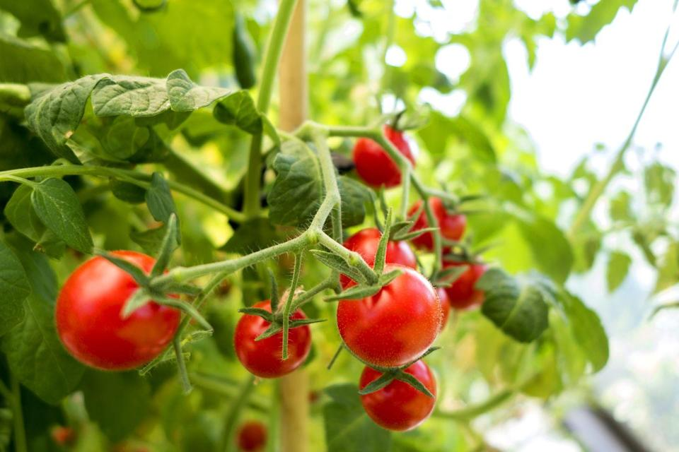 "<p>There's nothing like popping a freshly picked cherry tomato off the vine and into your mouth! Look for newer varieties which remain compact and pretty in containers, rather than heirloom types, which are sprawling vines. Cherry tomatoes need full sun. </p><p><a class=""link rapid-noclick-resp"" href=""https://www.amazon.com/Burpee-Sweetheart-Patio-Cherry-Tomato/dp/B078GMZMNX?tag=syn-yahoo-20&ascsubtag=%5Bartid%7C10050.g.30420939%5Bsrc%7Cyahoo-us"" rel=""nofollow noopener"" target=""_blank"" data-ylk=""slk:SHOP CHERRY TOMATOES"">SHOP CHERRY TOMATOES</a></p>"