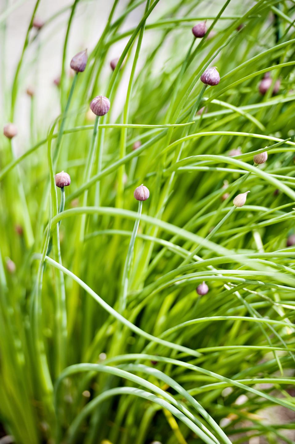 <p>Chives's edible flowers not only taste delicious in our food but they are a great bug repellent to carrot flies, Japanese beetles, and aphids.</p>