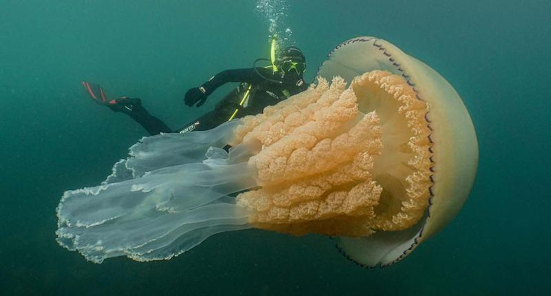 Giant barrel jellyfish seen in waters off Cornwall. Pictured with diver, Lizzie Daly. Source: Dan Abbott