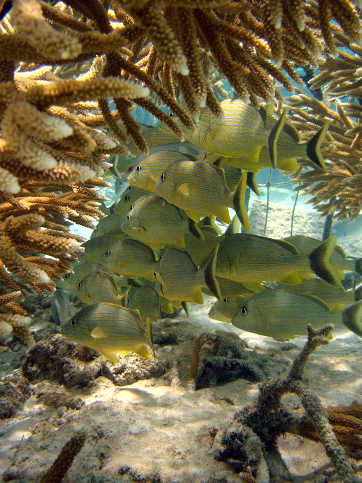 In this May 30, 2012 photo released by the Puntacana Ecological Foundation, healthy coral protect a school of fish in Punta Cana, Dominican Republic. In the Dominican Republic, in the thriving tourist town of Punta Cana, the Puntacana CQ Ecological Foundation has planted some 1,200 fragments of Acropora coral, a genus which includes staghorn and elkhorn. Advocates say the reef restoration work, focused on the region's fast-growing but threatened staghorn and elkhorn coral species, can boost rates of recovery and improve the outlook for coral. (AP Photo/Puntacana Ecological Foundation, Victor Manuel Galvan)