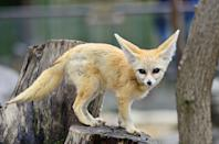 """<p>By far the largest animal on this list, but the smallest fox around. Per National Geographic <a href=""""https://www.nationalgeographic.com/animals/mammals/f/fennec-fox/"""" rel=""""nofollow noopener"""" target=""""_blank"""" data-ylk=""""slk:their ears can grow to about 6 inches"""" class=""""link rapid-noclick-resp"""">their ears can grow to about 6 inches</a>, but these dainty mammals still only weigh between 2.2 to 3.3 lbs. </p>"""