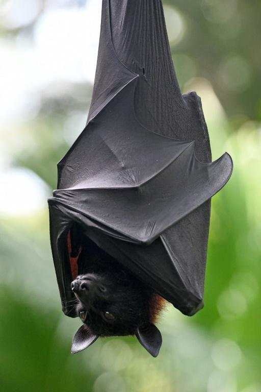 Bats are one of the world's most endangered animals, threatened by habitat loss and human persecution