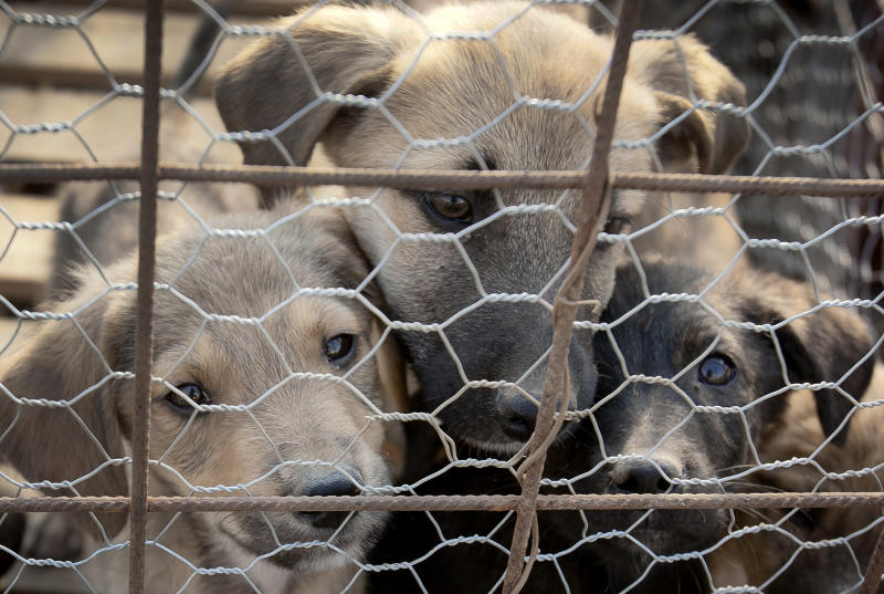 FILE - In this photo taken Monday Sept. 26, 2011, puppies look out from behind wire fencing in a stray dog shelter in Bucharest, Romania.  Romania's parliament has voted to allow for thousands of stray dogs that roam the streets of the capital and elsewhere to be killed. Parliament voted Tuesday Nov. 22, 2011 by 168-111 to pass the controversial law which needs to be signed into law by President Traian Basescu. Local authorities will be able to choose what method is used. The move is likely to anger animal rights groups in Romania and abroad who have lobbied for months against the measure. (AP Photo/Vadim Ghirda, File)