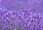 <p>Fragrant lavender is as enticing to butterflies as it is to us. This famous perennial thrives in USDA Hardiness Zones 5-9 and blooms in the summer.</p>