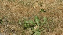 Lawns throughout the National Capital Region are turning brown as level one drought conditions continue in the Rideau Valley watershed.