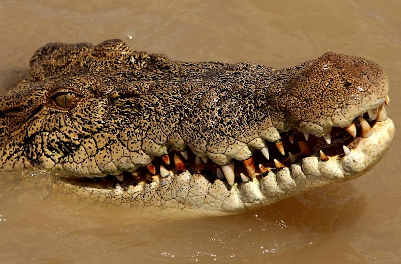 Saltwater crocodiles, which can grow up to seven metres (23 feet) long and weigh more than a tonne, are mostly found in northern Australia