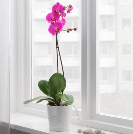 Ikea: Potted Orchid, assorted colours. $20.