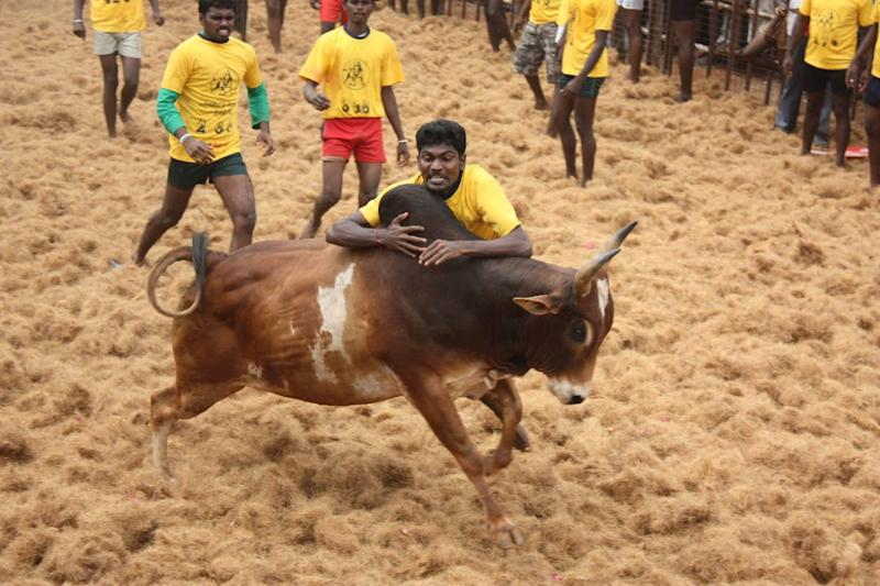 A rural sport, Jallikattu grabbed national attention only after last year's massive protests. However, little do people know about the actual purpose of the sport and its cultural significance.