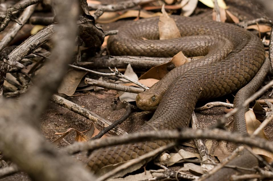 A large Eastern Brown Snake about to Shed seen among leaves and twigs