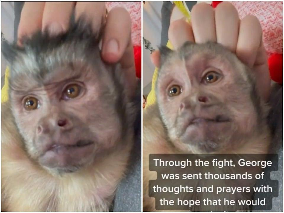George, a star on the app TikTok, died while getting a dental treatment (TikTok/@heresyourmonkeycontent)