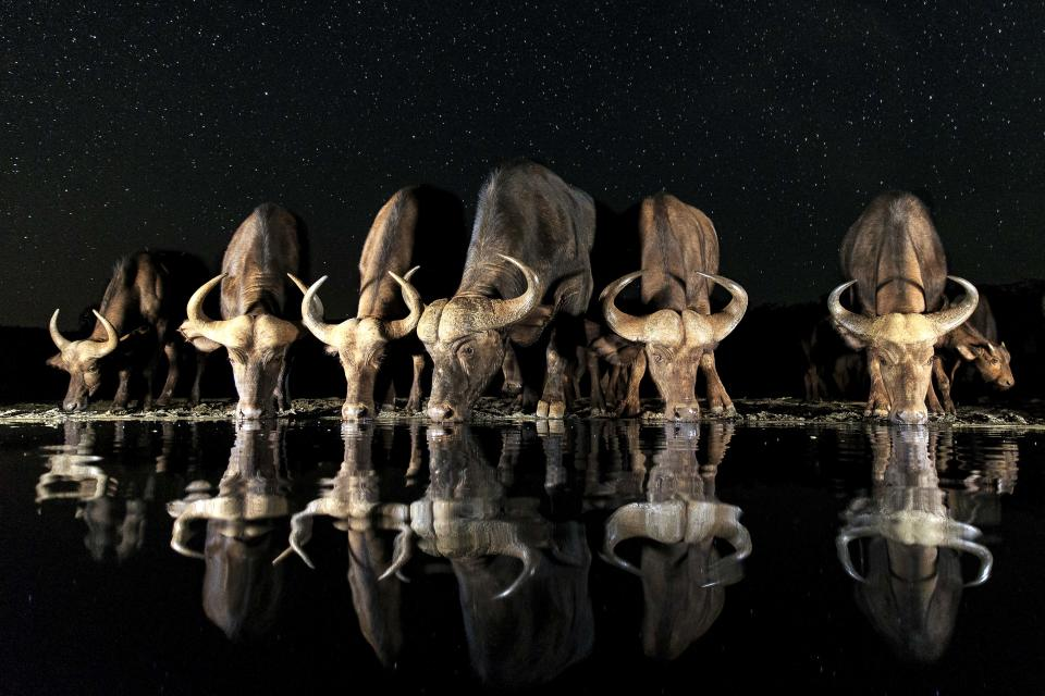 <p>A herd of African water buffalo drink from a watering hole at night in South Africa. (Photo: Andreas Hemb/Caters News) </p>